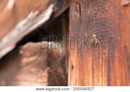 A large mosquito sits on a wooden vintage wall. Close-up