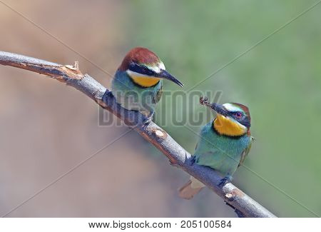 Beautiful Colorful Birds The Bee-eaters Sitting On A Tree Branch