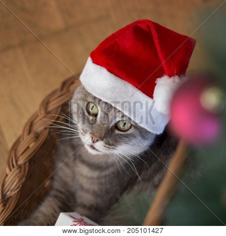 Beautiful tabby cat wearing Santa's hat lying in a basket underneath the Christmas tree