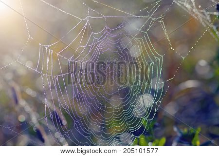 The Spider Web At Dawn In The Dew Drops