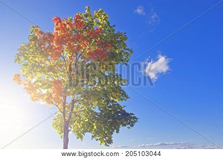 autumn maple tree with vivid green and fiery red leaves on a blue sky background shining in the sun