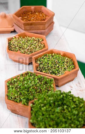 plant growth phases lentils sprouting terracotta pots
