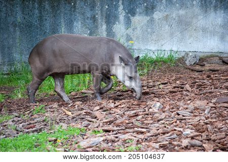 Brazilian or South American tapir in Kaliningrad Zoo
