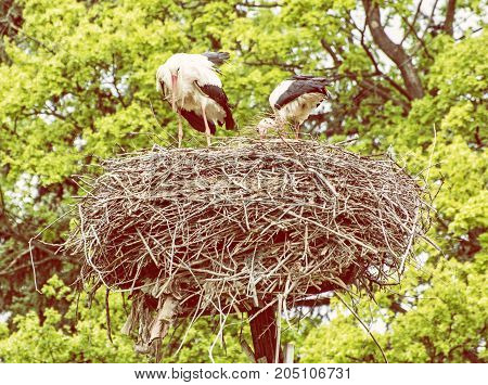 Family of White stork - Ciconia ciconia - in the nest. Bird watching. Red beak. Bird's nest. Yellow photo filter.