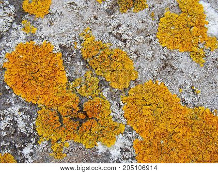 large yellow lichen colony growing on old stone wall