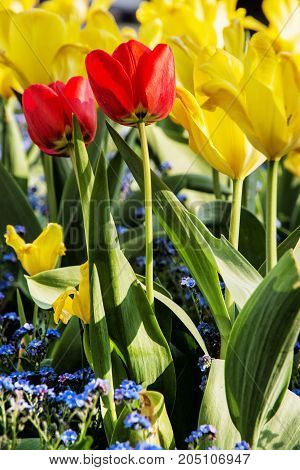 Red and yellow tulips with forget-me-not flowers planted in the park. Springtime garden.