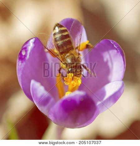 Macro photo of bee pollinate crocus heuffelianus flower. Natural scene.