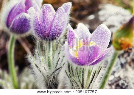 Flowering dewy Pulsatilla slavica flowers in spring meadow. Seasonal natural scene.