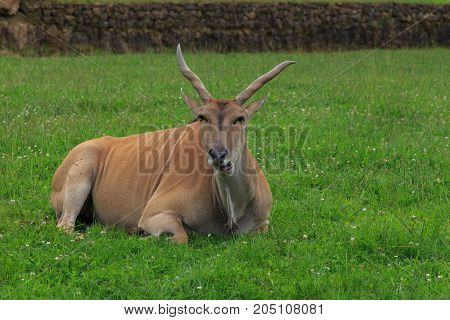 An male eland with his majestic horns