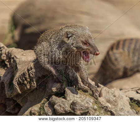 The mongoose teaches its small and sharp teeth
