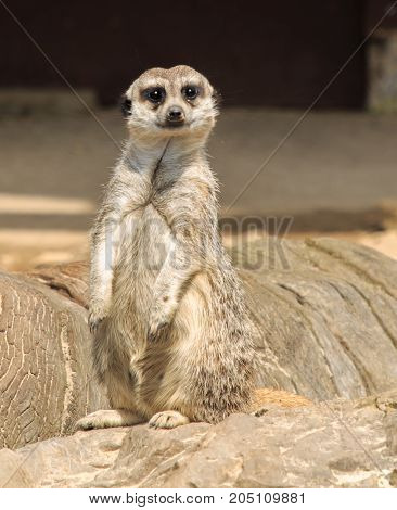 The meerkats one of the friendliest animals