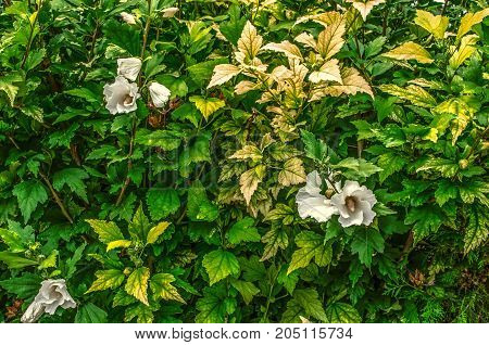 Fence of bushes of white hibiscus with green and yellow from the heat sheets