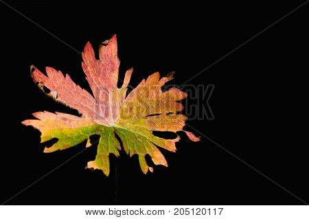 Multi-colored Autumn Leaf