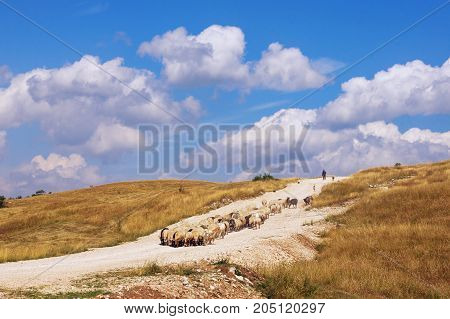 Landscape with herd of sheep coming down the hill. Balkans , Montenegro , Krnovo