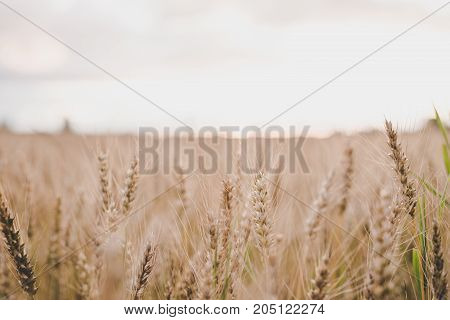 Agriculture. Ears Of Organic Rye In The Field