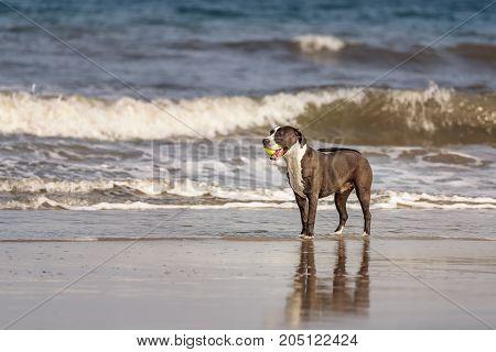 American Pitbull Terrier playing on Fernandina Beach