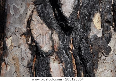 Burnt black fir bark with interesting surface