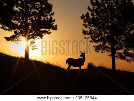 Mule deer doe watching the sun rise.