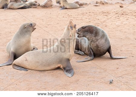 Cape Fur Seals Arctocephalus pusillus at Cape Cross on the Skeleton Coast of Namibia