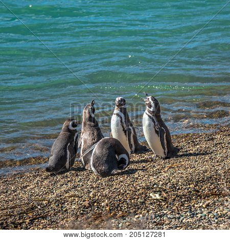 Magellanic Penguins At The Nest, Peninsula Valdes, Patagonia