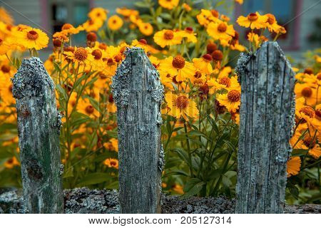 Helenium flower. Season autumn yellow background. Shallow depth of field
