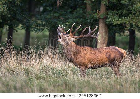 Red deer, Cervis elaphus, bellowing in runting season in Jaegersborg Dyrehave Denmark