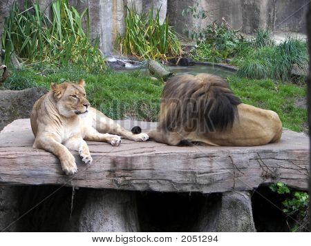 male and female lion relaxing on large rock poster