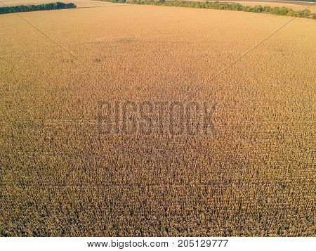 Aerial view on corn field before harvest in autumn sunset light