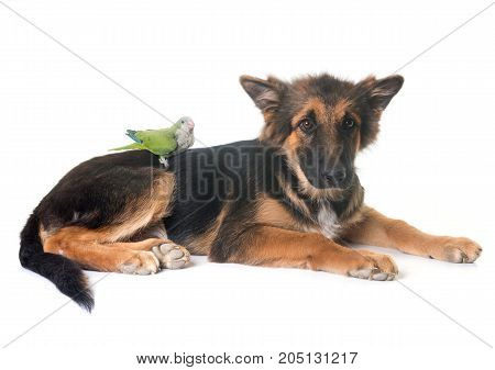 puppy german shepherd and parakeet in front of white background