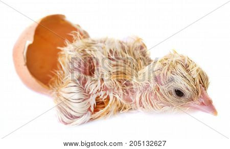 hatching of chick in front of white background