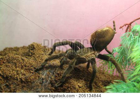 Tarantula Spider Brachypelma Albopilosum