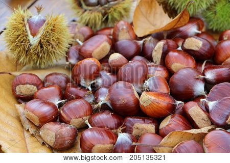 Chestnuts dead leaves and husks after harvest in a forest during autumn