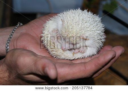 A Beautiful White Hedgehog