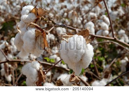 Cotton harvest in the field on cotton bushes