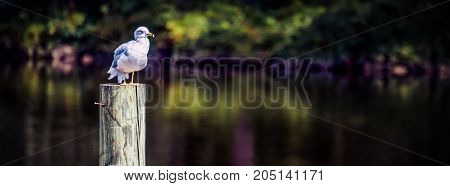 A seagull sitting above the water on his perch in a Virginia river.