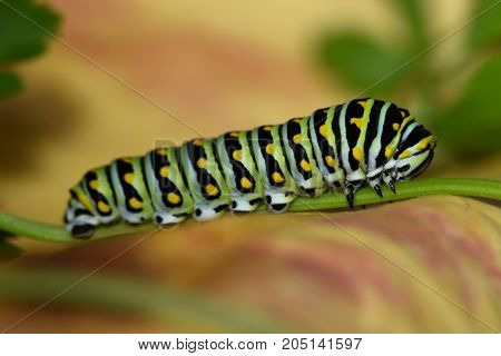 A side view of a Black Swallowtail Butterfly or Papilio Polyxens on a parsley stem.