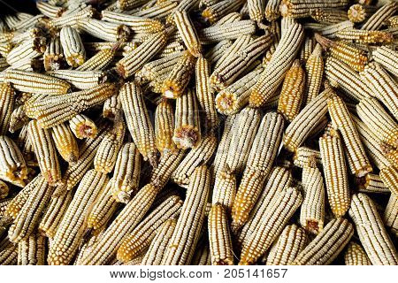 Close view of picked and dry whole ear corn in a farm