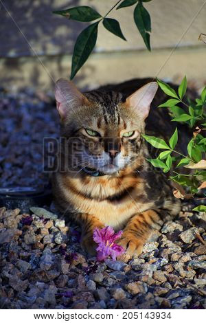 Cat. Bengal. In garden with flower. Purebred bengal. Striped.