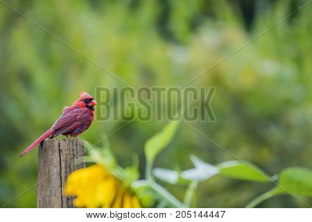 Male Cardinal (Cardinalis cardinalis) molts feathers in late summer perched over a sunflower garden