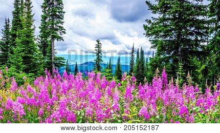 Alpine meadows covered in pink fireweed wildflowers in the high alpine on a hike to Mount Tod near the village of Sun Peaks, in the Shuswap Highlands in central British Columbia Canada