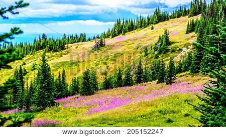 Meadows covered in pink fireweed wildflowers in the high alpine near the village of Sun Peaks, in the Shuswap Highlands in central British Columbia Canada