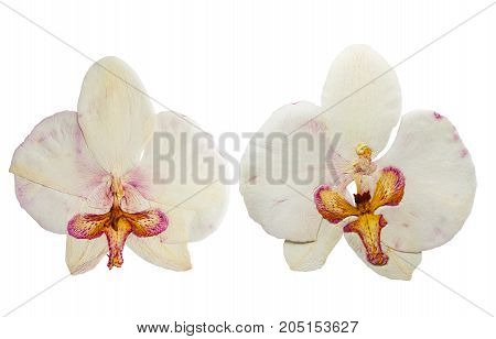 Pressed and dried flower orchid isolated on white background. For use in scrapbooking pressed floristry or herbarium.