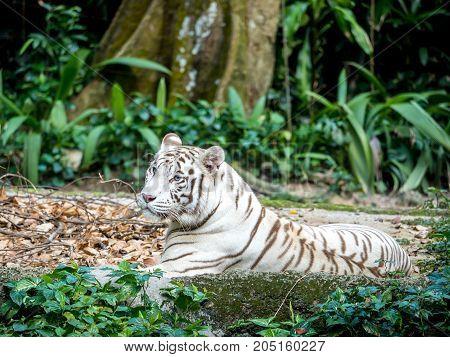 Animal: Adult White Tiger walking on grass