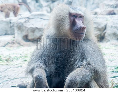 The portrait of a male baboon close up