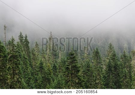 Pine trees shrouded in mist at the slopes of mount Raineer, Washinton