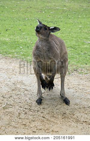 the joey kangaroo-Island kangaroo is begging for food