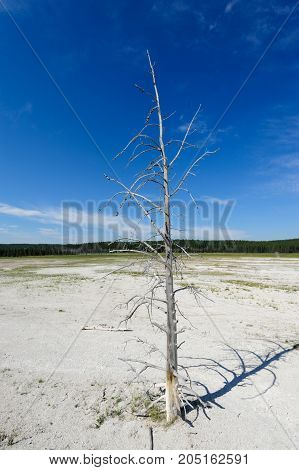 A Dead tree trunk in the Norris Geyser Basin Area of Yellowstone National Park