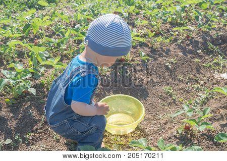 Little boy harvesting strawberries in the field