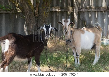 Two white- beige and brown goats graze on the meadow