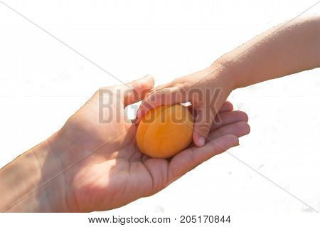 Apricot in the woman's hand and child's hand takes it isolated on the white background of the green field. Parenthood concept.
